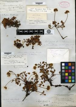 Image of Eriogonum porteri
