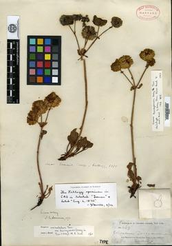 Image of Eriogonum torreyanum