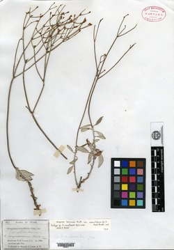 Image of Eriogonum wasatchense
