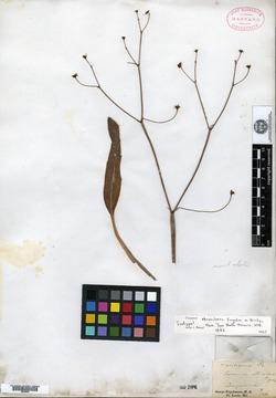 Image of Eriogonum atrorubens