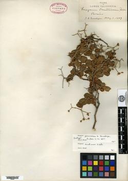 Image of Eriogonum peninsulare