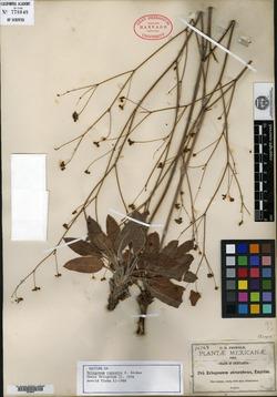 Image of Eriogonum rupestre