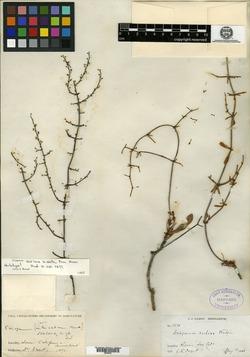 Image of Eriogonum scalare