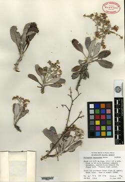 Image of Eriogonum zapatoense