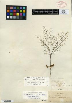 Image of Oxytheca glandulosa