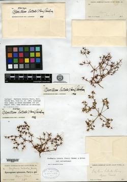 Image of Oxytheca luteola