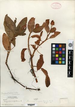 Image of Persicaria oregana