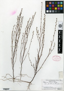 Polygonum tenue var. protrusum image