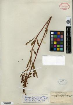 Rumex salicifolius var. denticulatus image
