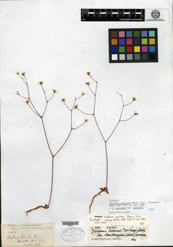 Image of Oxytheca parishii