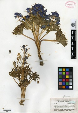 Image of Delphinium caprorum