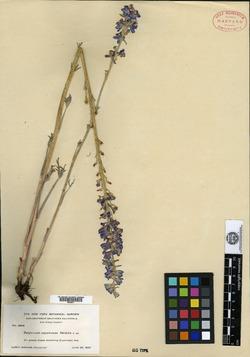 Image of Delphinium cuyamacae