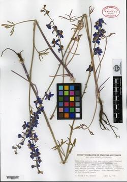 Image of Delphinium collinum