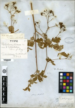 Image of Delphinium barrancae