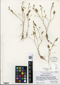 Image of Ranunculus alveolatus