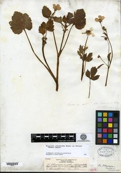 Image of Ranunculus bloomeri