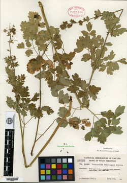 Image of Thalictrum breitungii