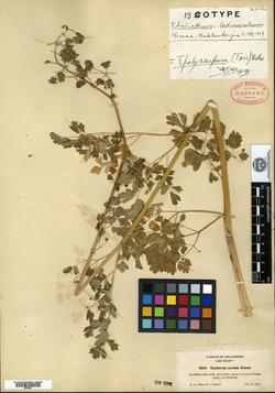 Image of Thalictrum latiusculum