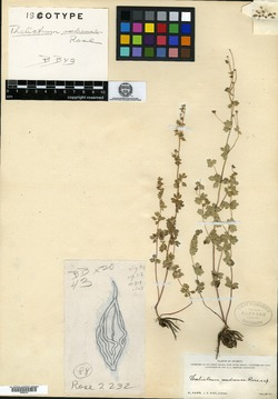 Image of Thalictrum madrense