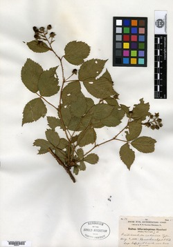 Image of Rubus biformispinus