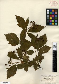 Rubus amabilis image