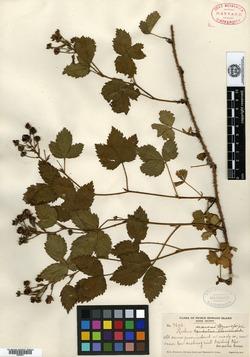 Rubus arcuans image