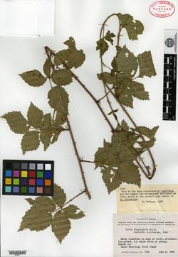Image of Rubus austrinus