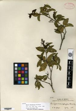 Image of Amyris monophylla