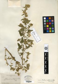 Image of Sphaeralcea californica