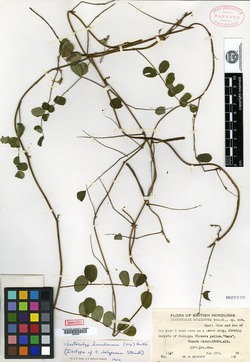Image of Chaetocalyx brasiliensis