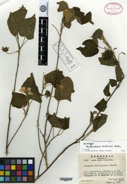 Image of Bakeridesia molinae