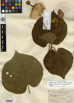 Image of Bakeridesia nelsonii