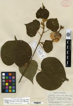 Image of Bakeridesia vulcanicola