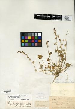 Image of Sidalcea nitrophila