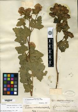 Image of Sidalcea vitifolia
