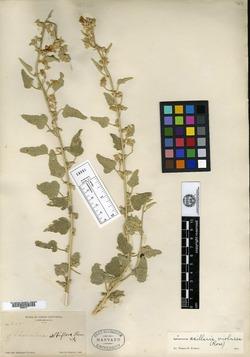 Image of Sphaeralcea albiflora