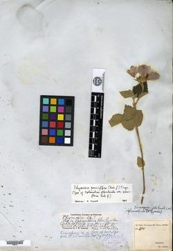 Image of Phymosia pauciflora