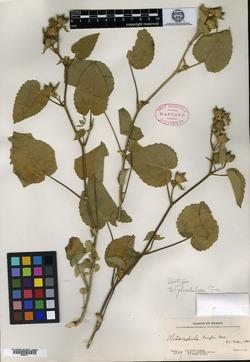 Image of Allowissadula glandulosa