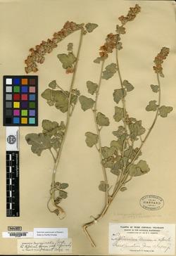 Image of Sphaeralcea marginata