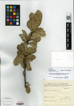Image of Sorocea arnoldoi