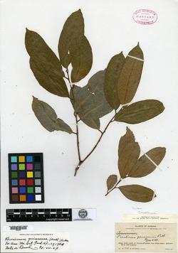 Image of Brosimum guianense