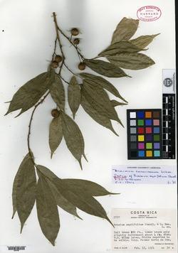 Image of Brosimum costaricanum