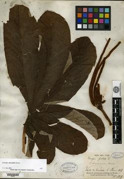 Image of Cecropia mexicana