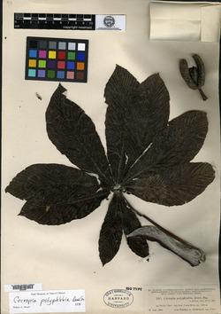 Image of Cecropia angustifolia