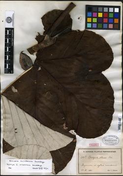 Cecropia schreberiana subsp. schreberiana image
