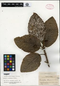 Coussapoa panamensis image