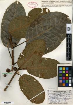 Ficus crocata image