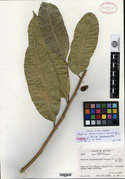 Maquira guianensis image