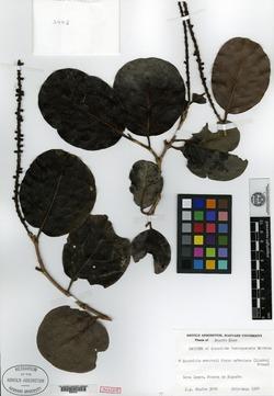 Image of Coccoloba borinquensis