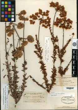 Eriogonum fasciculatum var. maritimum image